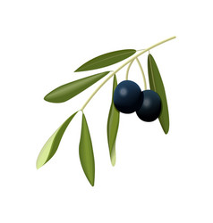 Olive branch with black olives on a white vector