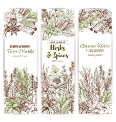 Herb and spice sketch banner of organic seasoning vector