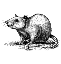 engraving rat vector image