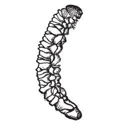 Potato stalk borer larva vintage vector