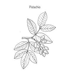 pistachio or pistacia vera vector image vector image
