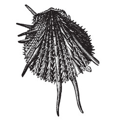 Spondylus imperialis vintage vector