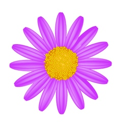 Purple Daisy Flower on A White Background vector image vector image