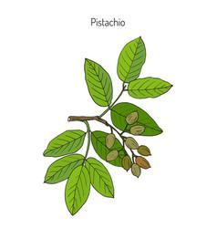 pistachio pistacia vera vector image vector image