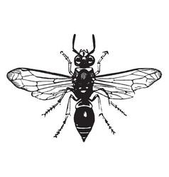 Potter wasp vintage vector