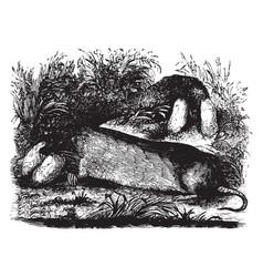 Pouched rat vintage vector