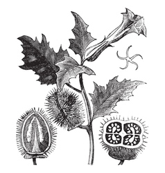 Thorn apple engraving vector