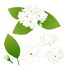 Jasminum sambac - arabian jasmine vector