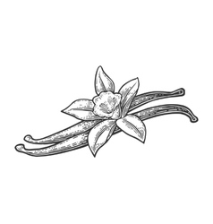 Vanilla pods and flower black vintage vector