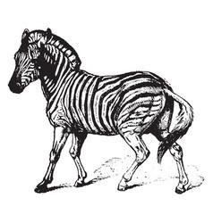 Zebra vintage vector