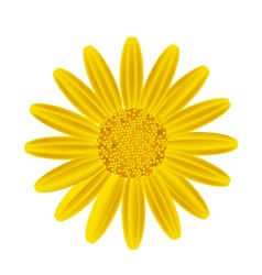 Yellow Daisy Flower on A White Background vector image vector image