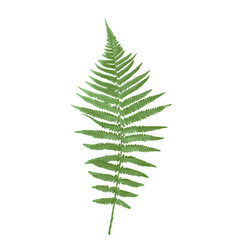 Naturalistic picture of fern vector