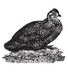 Prairie chicken vintage vector