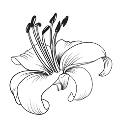 White lily vector image