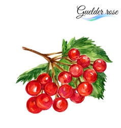Watercolor guelder rose vector