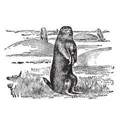 Prairie dog vintage vector