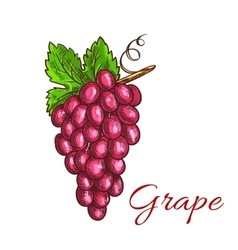 Bunch of pink grape fruit sketch for drinks design vector