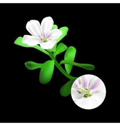 Bacopa monnieri plant on black background brahmi vector