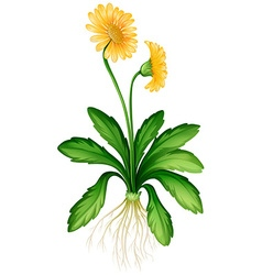 Yellow daisy with roots vector