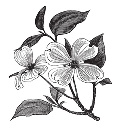 Flowering Dogwood vintage engraving vector image