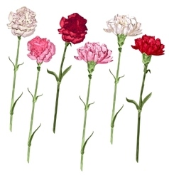 Set carnation flowers White pink and red vector image