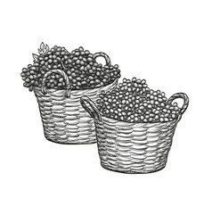 Grapes in baskets vector