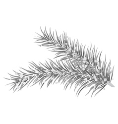 Silver fir branches vector
