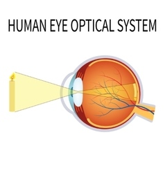 the human eye optical system vector image