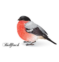 Christmas bullfinch bird vector