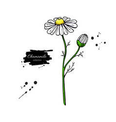 Chamomile drawing set isolated daisy wild vector