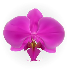 colorful naturalistic orchid isolated on white vector image