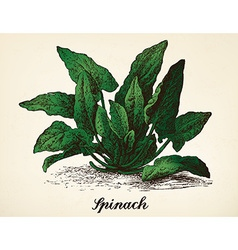 Spinach vintage vector