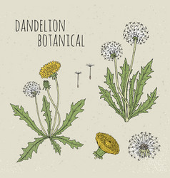 dandelion medical botanical isolated vector image vector image