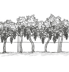 hand drawn of vineyard vector image vector image