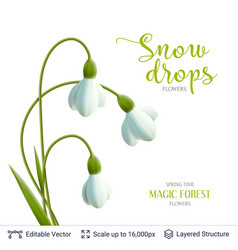 Spring snowdrops on white vector