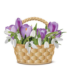 Bouquet of snowdrops and crocuses in a basket vector