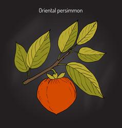 japanese persimmon diospyros kaki vector image
