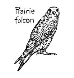 Prairie falcon - sketch hand drawn vector