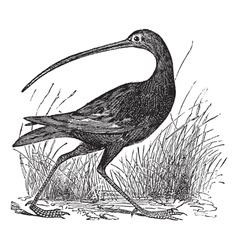 Slender billed curlew engraving vector