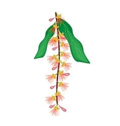 Indian oak flower or barringtonai acutangula vector