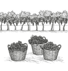 Vineyard and rape branches and grapes in basket vector
