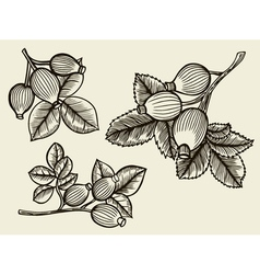 Rosa canina hand drawn vector