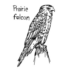 Prairie falcon - sketch hand drawn vector