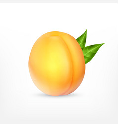 Ripe apricot with green leaves vector