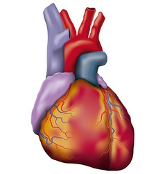 Human heart detailed vector