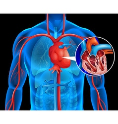 Xrays of human heart vector image vector image