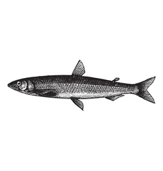 European smelt vintage engraving vector