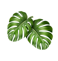 Two monstera leaves vector