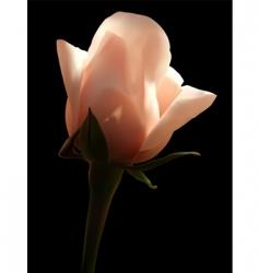 Rosa white vector image