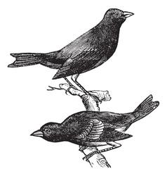 Indigo Bunting vintage engraving vector image